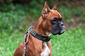 Boxer Dog Portrait Close Up