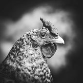 Portrait Of A Chicken