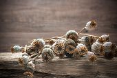 Dried Poppies Plants