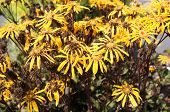Flowers Of Asteraceae Or Ligularia..