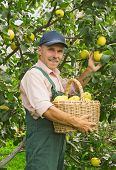 Man Picks The Apples In Garden In September