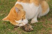 Closeup of a cat eating a mouse in grass