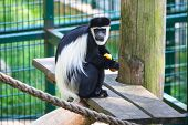 Mantled guereza in the zoo