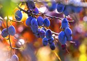 Fresh ripe blue plums on tree in autumn