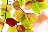 Beautiful autumn beech leaves