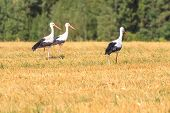 Tree walking White Storks on forest background