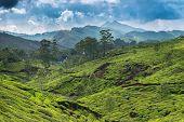 Tea plantations in state Kerala, India