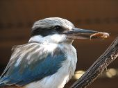 foto of blue winged kookaburra  - kingfisher - JPG