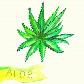 Illustration of watercolor painted aloe plant with text.