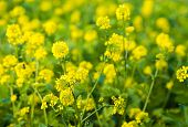 Yellow Flowering Rapeseed From Close