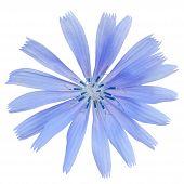 stock photo of chicory  - close chicory flower isolated on white background - JPG