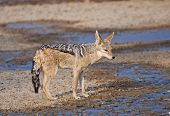 Black-backed Jackal (canis Mesomelas) Coming For A Drink.