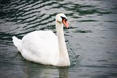 Swan on Zeller Lake, Zell am See, Austria