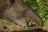 South American Tapir Feeding