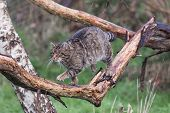 Scottish Wildcat Walking Along A Branch