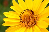Yellow Flower Arnica