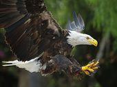 Bald Eagle (lat. Haliaeetus Leucocephalus)