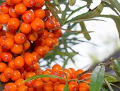 image of sea-buckthorn  - Buckthorn berries on a twig growing naturally for background or frame - JPG