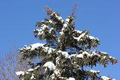 Fresh White Snow on Pine or Spruce Tree