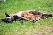 stock photo of belgian shepherd  - female dog of belgian shepherds malinois with puppies
