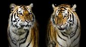 picture of sundarbans  - Closeup Twin tiger animal wildlife black color background  - JPG