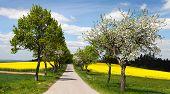 Road, Alley Of Apple Tree, Field Of Rapeseed