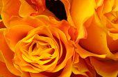 Macro Of Orange Rose