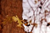 stock photo of mulberry  - A mulberry leaf amongst a few others left on a tree in autumn.