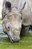 Indian Rhinoceros - (Rhinoceros unicornis)