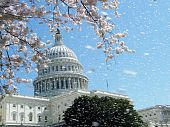 Washington Cherry Blossoms Near Capitol 2010