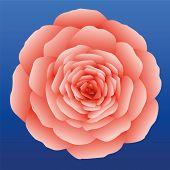 Rose Salmon Pink