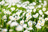 picture of daisy flower  - Field of daisy flowers - JPG