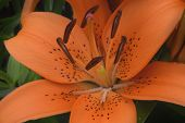 stock photo of asiatic lily  - A spectacular orange hybrid lily blooming in the garden - JPG