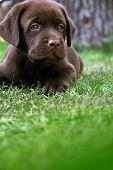 Labrador'S Puppy