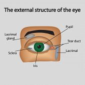 picture of lipids  - The external structure of the eye - JPG