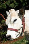 stock photo of zebu  - Bull cattle in feedlot on farm brazil - JPG