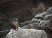 pic of thinkers pose  - Baby monkey of Hamadryas baboon sitting in a sad and lonely pose - JPG