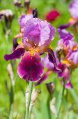 stock photo of purple iris  - Portrait of purple iris flower at summer day  - JPG