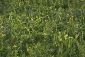 image of prairie  - Original Wisconsin prairie with Golden Alexanders in bloom and the large leaves of Prairie Dock - JPG