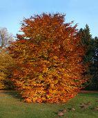Autumnal beech tree