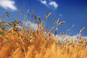 foto of dune grass  -  dry summer dune grasses - JPG