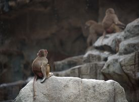 stock photo of thinkers pose  - Baby monkey of Hamadryas baboon sitting in a sad and lonely pose - JPG