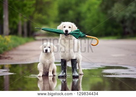 poster of golden retriever dog and puppy in rain boots holding an umbrella