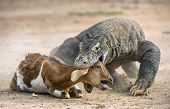 Attack Of A Komodo Dragon. The Komodo Dragon ( Varanus Komodoensis ) . poster