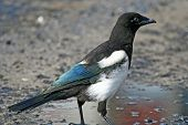 Young Magpie.