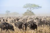 Постер, плакат: Wildebeest Migration The Herd Of Migrating Antelopes Goes On Dusty Savanna The Wildebeests Also C