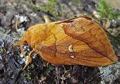 Drinker-Moth (Euthrix Patatoria)