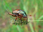 Escarabajo (Rhombonyx Testaceloes Ussuriensis)