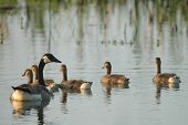 foto of mother goose  - A family of Canadian geese swim and forage on the quiet waters within the wetland refuge - JPG
