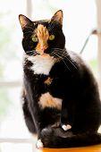 Beautiful Calico Tortoiseshell Tabby Cat With Backlighting poster